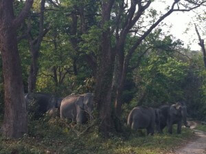 Elephants in Kaziranga