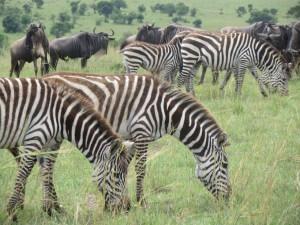 So many zebras.