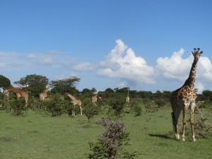 Giraffes right beside our camp site.