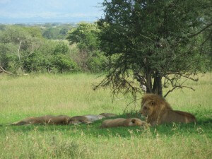 A pride of lions right by the road as we entered the Serengeti. We watched them for ages...