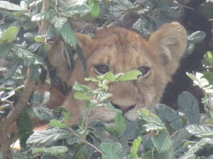 ...then another car came and the guide pointed out their 4 cubs in the bush right by our car.