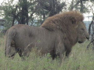 This lion was the daddy of a huge pride - maybe 20 lionesses and cubs in total.