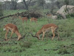 Impala sparring.
