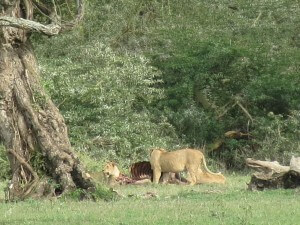 Another huge pride in Ngorongoro reclined around a recent kill wile others snacked.