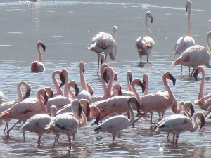 Flamingoes on the Rift Valley lakes.