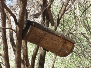 Tugen bee hives - all over the place in the northern Rift Valley.