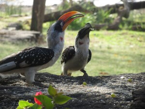 These cheeky hornbills were the resident birds at Robert's Camp in Lake Baringo. They spent hours looking at themselves in our car mirror!