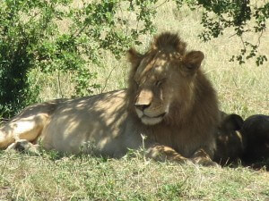 We saw more lions in one weekend than we've seen total since we've been here