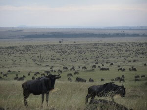 Insane numbers of wildebeest