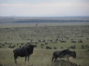 Insane numbers of wildebeest