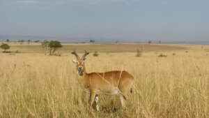 Kob Antelope were new for us - they were everywhere!
