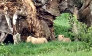 There were a number of newborn cubs in the Mara during Spring Break.