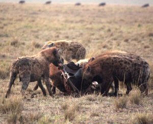 Hyena's on a kill.