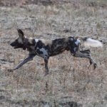 Wild Dogs on the hunt in South Luangwa.