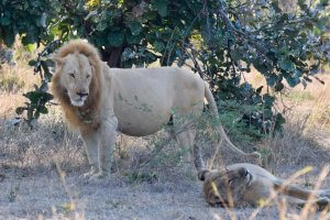 A big pride of lions in South Luangwa.