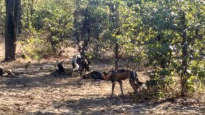 Our first wild dogs ever.  North Luangwa.  No one else was here.