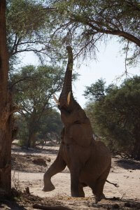 We were super excited to track and find the elusive desert elephants.
